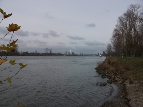 Rapfen am Rhein