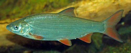 Die Nase - Fisch